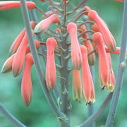 Photo of Aloe