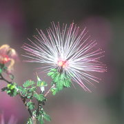Photo of Fairy Duster