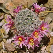 Photo of Fishhook cactus