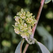 Photo of Jojoba