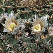 Photo of Milky Nipple Cactus