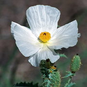 Photo of Prickle Poppy