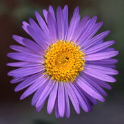 Photo of Purple Aster