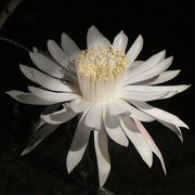 Photo of Queen of the Night Cactus