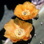 Spineless Prickly Pear Cactus