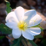 Photo of White Desert Primrose