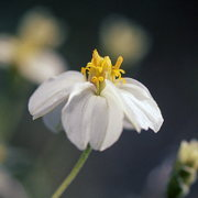 Photo of White Desert Zinnia