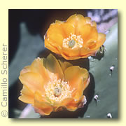 Photo of Spineless Prickly Pear Cactus