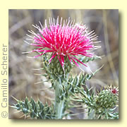 Photo of Thistle